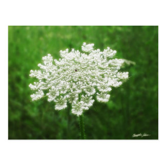 Queen Anne's Lace 1 (Wild Carrot) Postcard