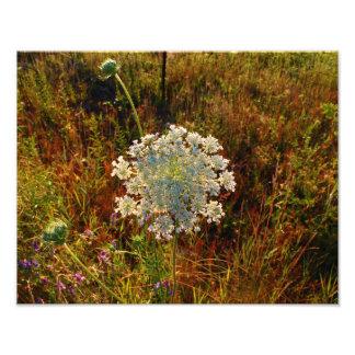 Queen Anne's Lace AKA Wild Photo Print