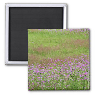 Queen Anne's Lace Daucus carota) growing 2 Inch Square Magnet