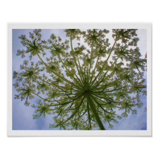 Queen Anne's Lace Looking Up 14 x 11 inch Print