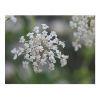 Queen Anne's Lace Macro Photograph Postcard