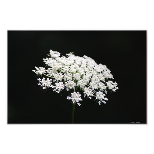 Queen Anne's Lace photo print