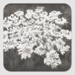 Queen Anne's Lace Stickers