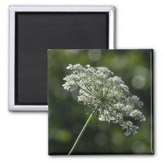 Queen Anne's Lace White Wildflower Magnet