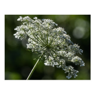 Queen Anne's Lace White Wildflower Postcard