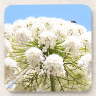 Queen Anne's white Lace flower against blue sky Beverage Coaster