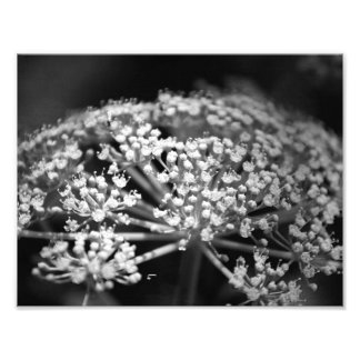 queen ann's lace photo
