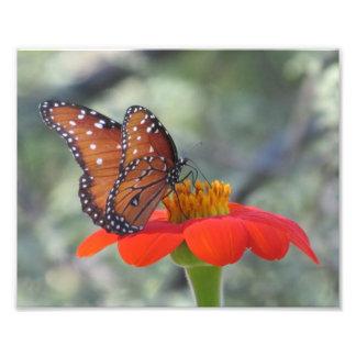 Queen Butterfly on Mexican Sunflower Art Photo
