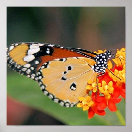 Queen Butterfly Poster Print