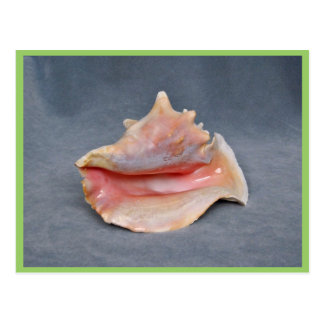 Queen Conch Shell Post Cards