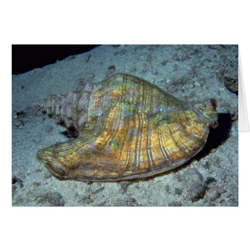 Queen conch (Strombus gigas) Shell Greeting Cards