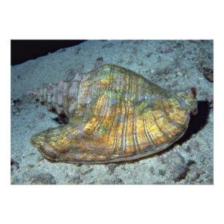 Queen conch Strombus gigas Shell Invites
