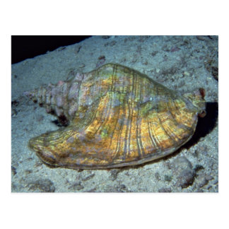 Queen conch Strombus gigas Shell Post Cards