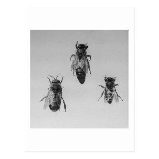 Queen Drone Worker Bee Keeping Apiology Apiarist Postcard