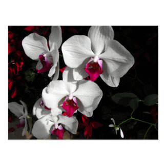 Queen Orchid Postcard