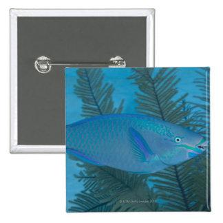 Queen Parrotfish (Scarus vetula) swimming over Button