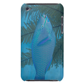 Queen Parrotfish (Scarus vetula) swimming over iPod Touch Case