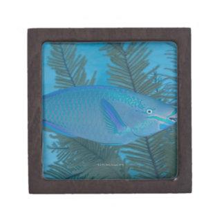 Queen Parrotfish (Scarus vetula) swimming over Keepsake Box