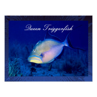 Queen Triggerfish Poster Print