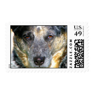 Queensland Blue Heeler Postage Stamp