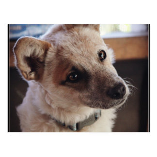 Queensland Heeler Pup Ringo Postcard