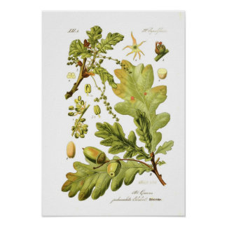 Quercus pedunculata (English Oak) Poster