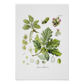 Quercus sessiliflora (Sessile Oak) Poster