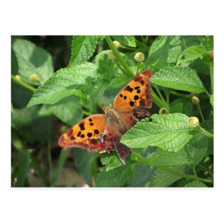 Question Mark Butterfly on Lantana Postcard