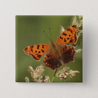 Question Mark butterfly, Polygonia Button