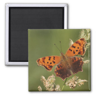 Question Mark butterfly, Polygonia Magnet