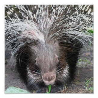 Quilled Porcupine Poster