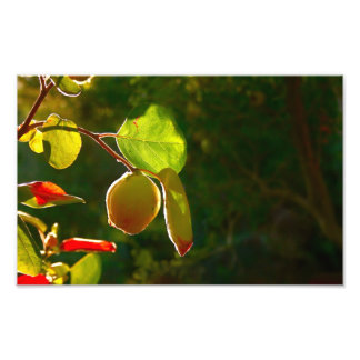 Quince Fruit On Tree Photo
