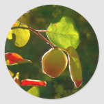 Quince Fruit On Tree Round Sticker