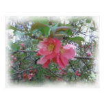 Quince in bloom Postcard