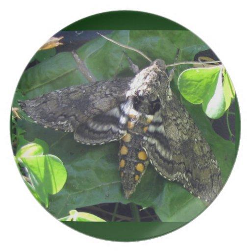 Quinquemaculata de Manduca de polilla de halcón Plato