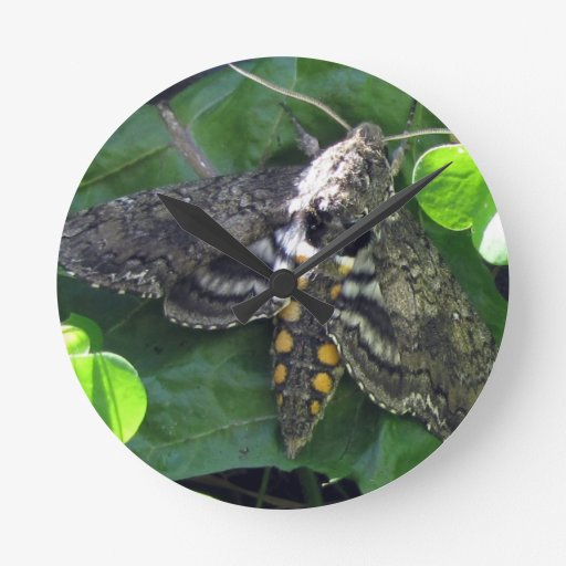 Quinquemaculata de Manduca de polilla de halcón Reloj De Pared