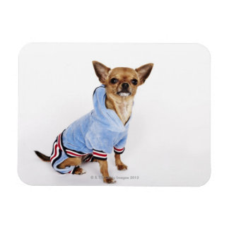 Quirky portrait of a Teacup Chihuahua 2 Magnet