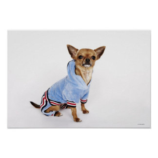 Quirky portrait of a Teacup Chihuahua 2 Poster