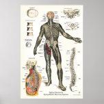 Quiropráctica 24 x 36 de los nervios espinales del posters