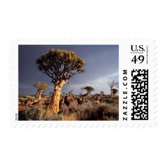Quiver Trees (Aloe Dichotoma) Postage