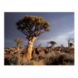 Quiver Trees (Aloe Dichotoma) Postcard