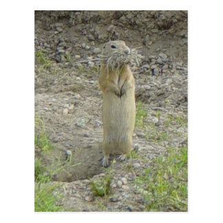 R0001 Richardson's Ground Squirrel Postcard
