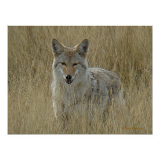 R0002 Coyote Poster