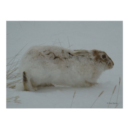 R0007 Snowshoe Hare Poster