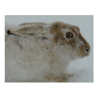 R0011 Snowshoe Hare postcard
