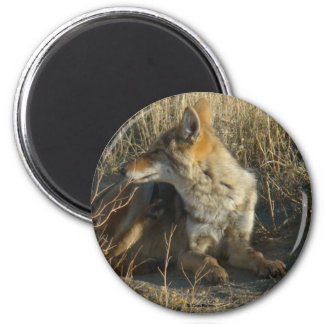 R0016 Coyote Scratching magnet