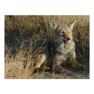 R0018 Coyote Laying Poster
