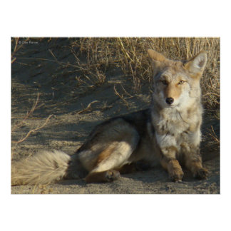 R0019 Coyote Laying Poster
