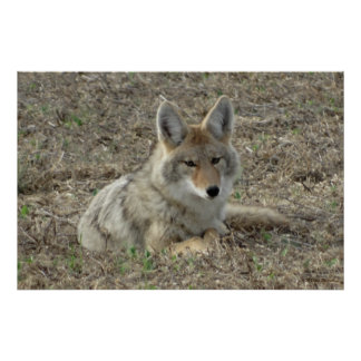 R0022 Coyote Laying Poster