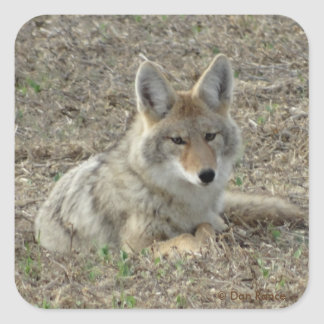 R0022 Coyote Laying Square Sticker